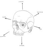 Anthro-skull
